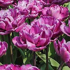 Tulip 'Blue Diamond'