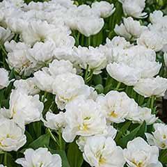 Tulip 'Mount Tacoma'