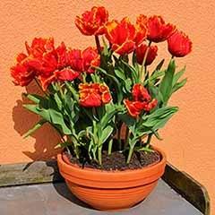 Tulip 'Bright Parrot'