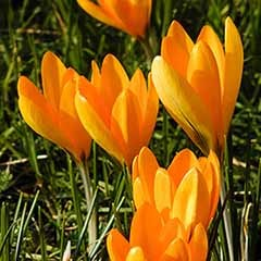 Large-Flowered Crocus 'Yellow'