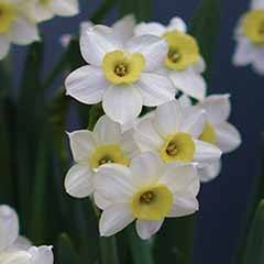 Narcissus 'Minnow'