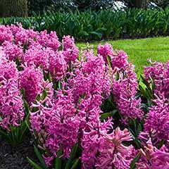 Hyacinth Pink