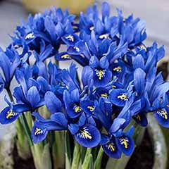 Iris reticulata Blue (miniature) Size:5/7 pack of 40 bulbs