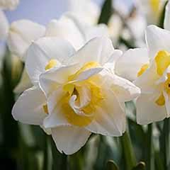 Daffodil 'White Lion'