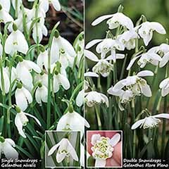 Single & Double Snowdrops 'In The Green' Twinpack