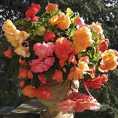 Fragrant Trailing Begonia 'Aromantic Mixed' Tubers
