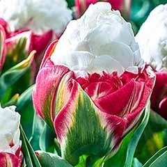 Tulip 'Ice Cream'