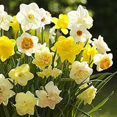 Value English Daffodil Mix 25Kg net