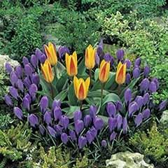 Classic Planter pack - Tulip & Crocus 45 bulbs