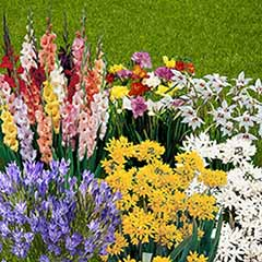 300 Summer Bulb Collection 7 varieties