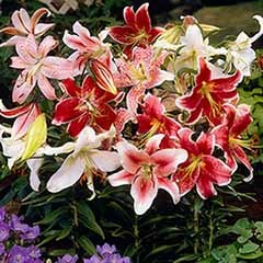 Mixed Fragrant Oriental Lilies - 'Double Nosed' bulbs
