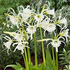 Ismene festalis - White Spider Lily