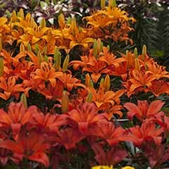 Asiaitc Lilies 'Fruit Salad Shades' mix