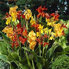 Exotic Canna tubers