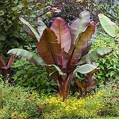 Ensete ventricosum �Maurelii� - Red Abysinnian Banana