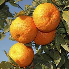 Pair of Large Orange Trees
