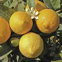 Pair of Large Lemon Trees