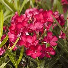Pair of Red Oleander Half Standards 65cm Tall