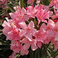 Set of 3 Pink Oleander Bushes�in 17cm Pots