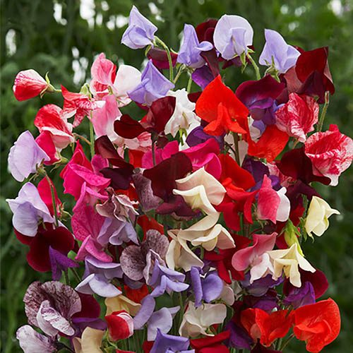 Sweet Pea Heirloom Select Mix (Packet of 30 seeds)