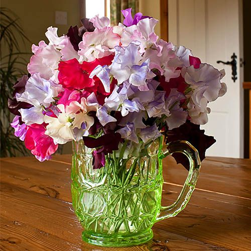 Sweet Pea Exhibitors Choice (Packet of 30 seeds)