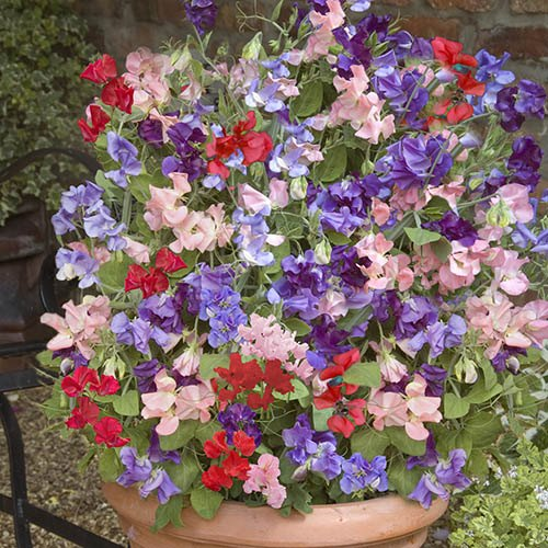 Sweet Pea Patio Perfect (Packet of 50 seeds)