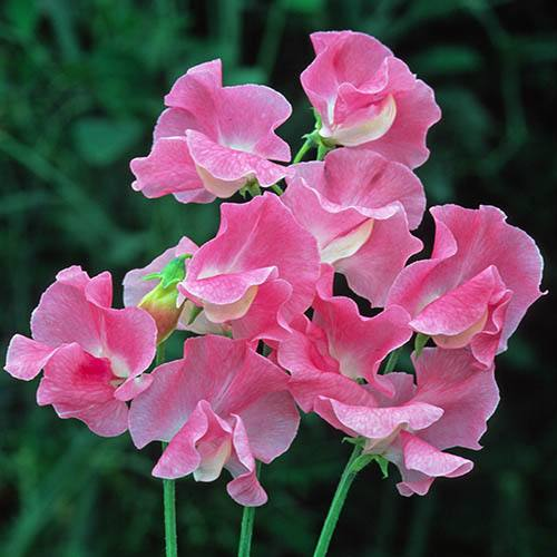 Pack of 50 Sweet Pea 'Sylvia Moore' seeds