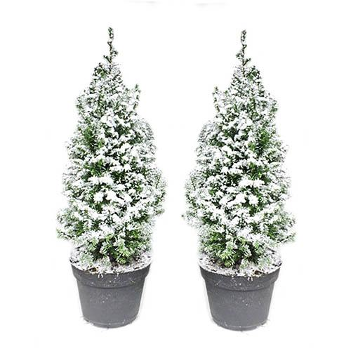 Pair Snow Covered Potted Living Christmas Trees 35-40cm tall