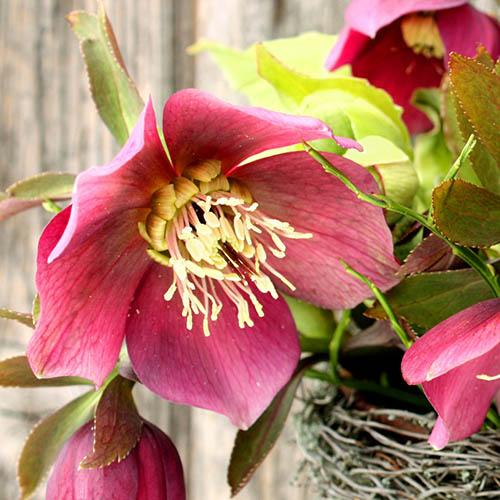 Hellebore Single Red 9cm