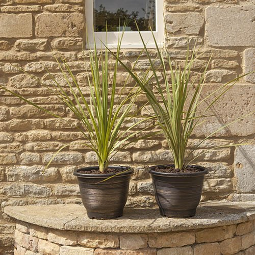 Pair of 80-100cm Cordylines with a Pair of 13 Gold Groove Planters