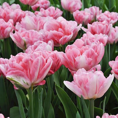 20 Orange & 30 Pink Tulip Bulbs with Planters