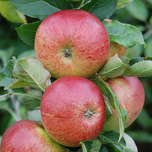 Image of Gala Apple Patio Fruit Tree in a 5L Pot 1.2m Tall
