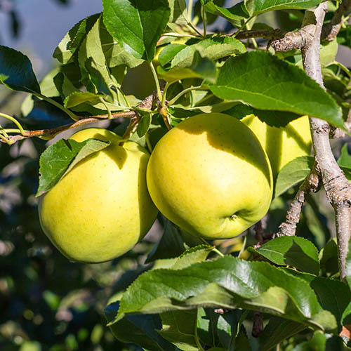 Image of Golden Delicious Apple Patio Fruit Tree in a 5L Pot 1M Tall