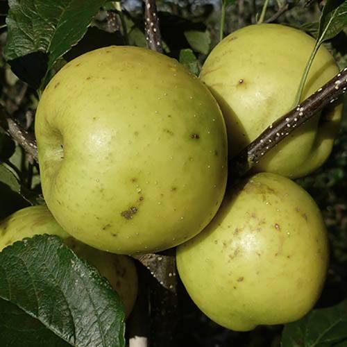 Apple Greensleeves  Tree
