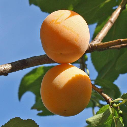 Mirabelle de Nancy Plum Patio Fruit Tree in a 5L Pot 1.2m Tall