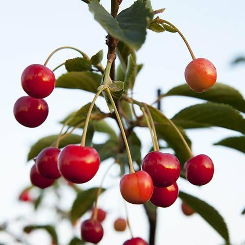 Sweet Cherry Sunburst