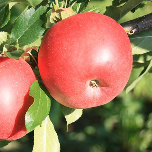 Image of Apple Red Sun Patio Fruit Tree Bare Root 50cm Tall