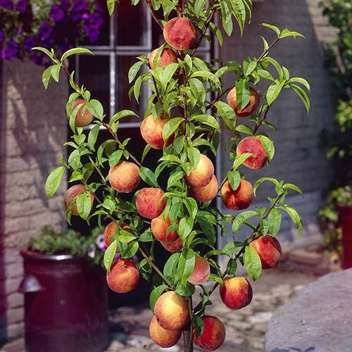 Leaf-Curl Resistant Peach 'Avalon Pride' tree standard 1.4M 7.5L pot