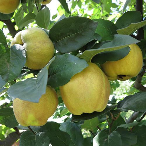 Sibley's Patio Quince Fruit Tree in a 4.5L Pot 60cm Tall