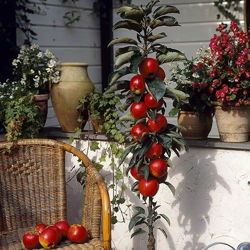 Apple Column Patio Fruit Tree Red Sensation in a 5L Pot 80cm Tall