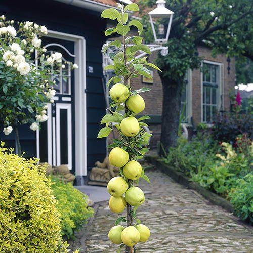Apple Column Patio Fruit Tree Gold Sensation in a 5L Pot 80cm Tall