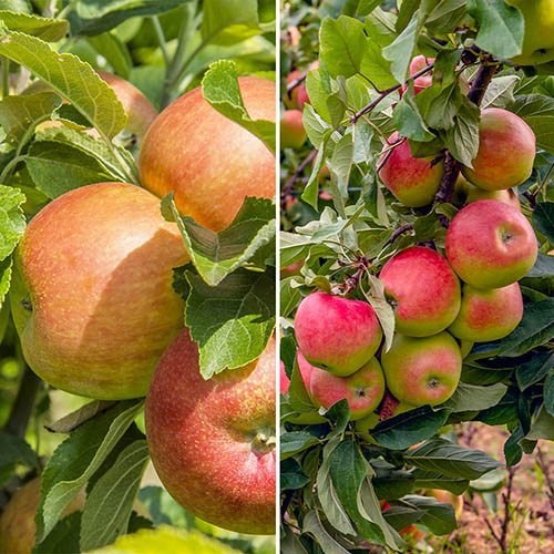 Apple Patio Duo Fruit Tree - Bramley and Braeburn on 1 Potted Tree 7.5L