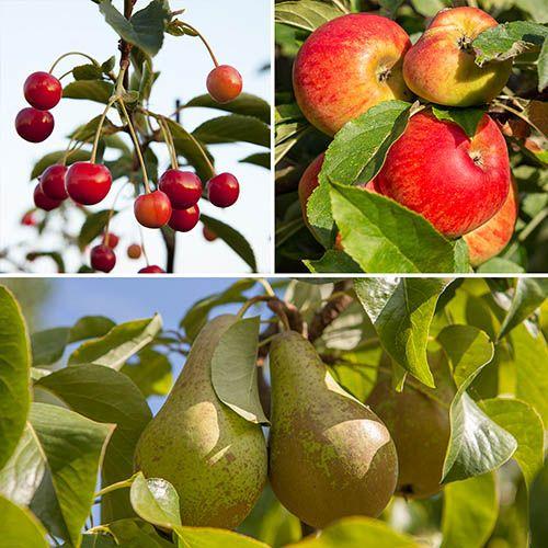 Plants & Seeds Trio Fruit Tree Apple/Cherry/Pear
