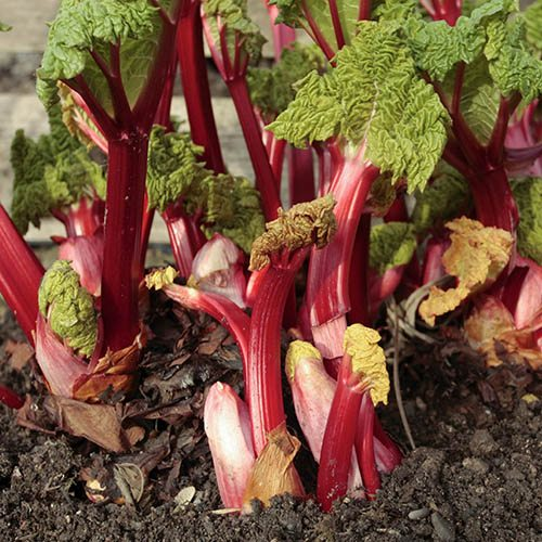 Summer-long Rhubarb 'Livingstone' plant in 9cm pot