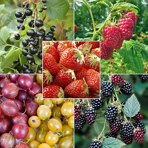The Complete Fruit Bush Garden (21 plants)