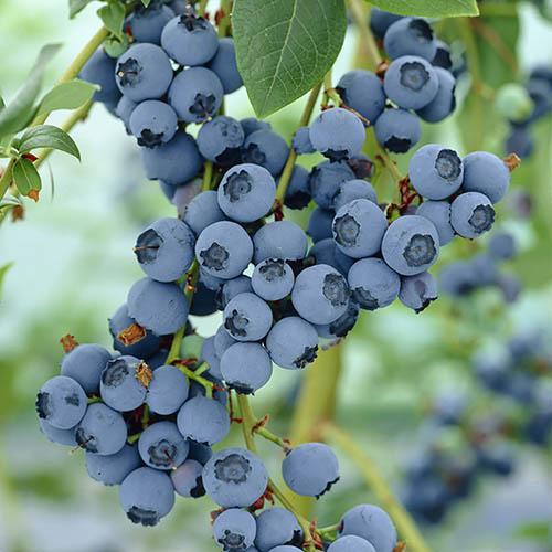 Blueberry Bluegold