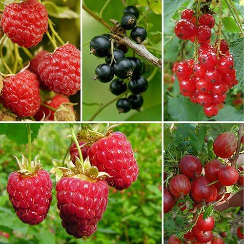 Patio Fruit Garden Collection
