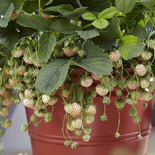Pineberry White Strawberry