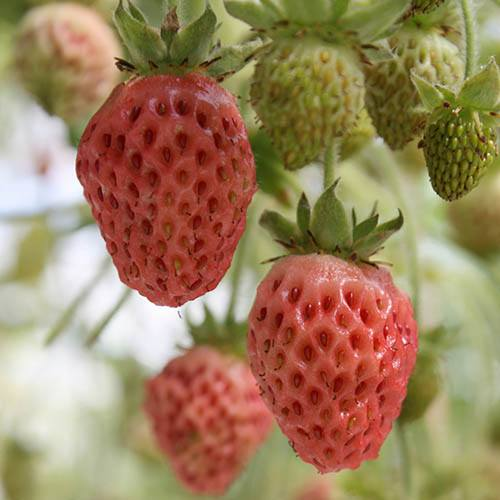 Pack of 6 'Bubbleberry' Bubblegum Flavoured Strawberry Plants in 9cm Pots