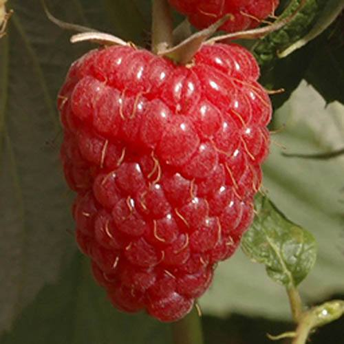 Raspberry Long Cane Glen Ample Fruit Bush - Pack of 10 Canes to Grow Your Own